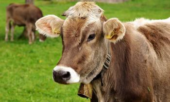 mucca-da_pixabay_rid.jpg